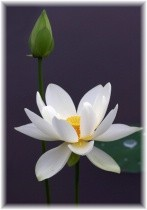 whitelily2